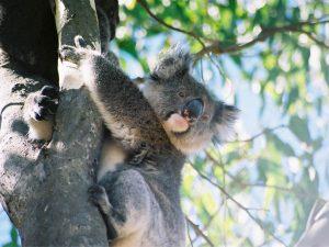 Koala_Kangaroo_Island